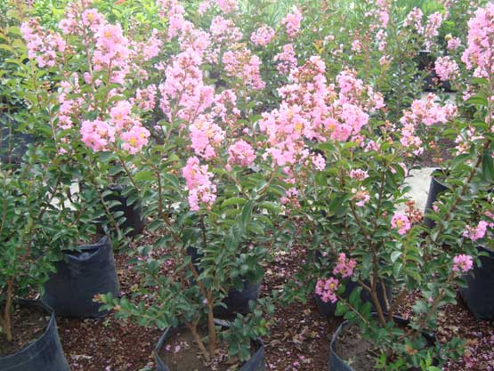 Catalogo de plantas for Catalogo de flores de jardin
