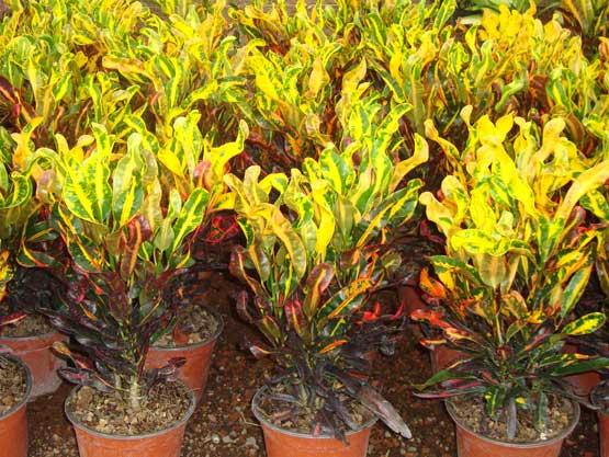 Catalogo de plantas for Plantas ornamentales croto
