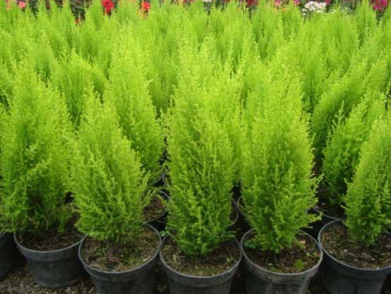 Catalogo de plantas for Tipos de arbustos ornamentales