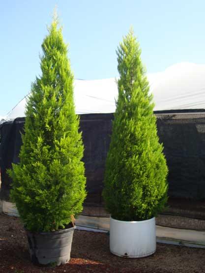 Pino cedro bilder news infos aus dem web for Tipos de pinos para jardin fotos